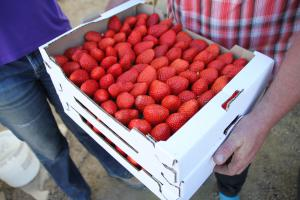 + 1 % de production de fraises en 2015.